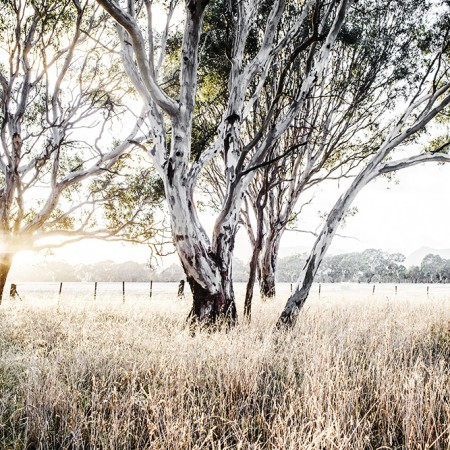 Limited Edition Ghost Gum Photographic Print